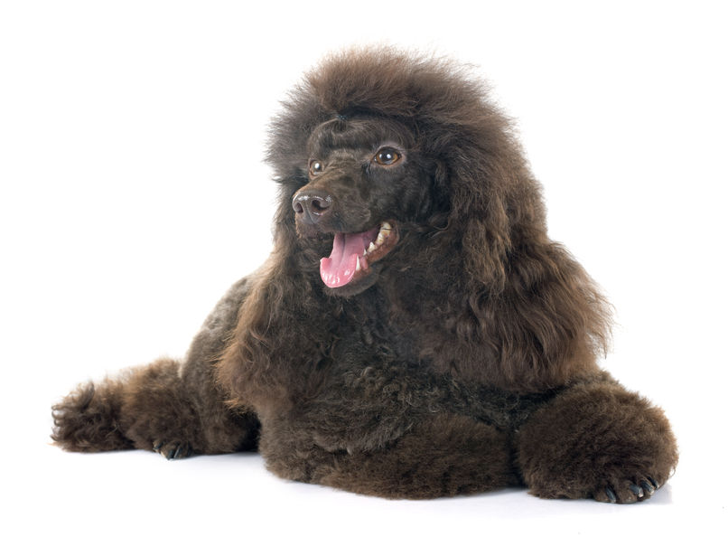 brown poodle in front of white background