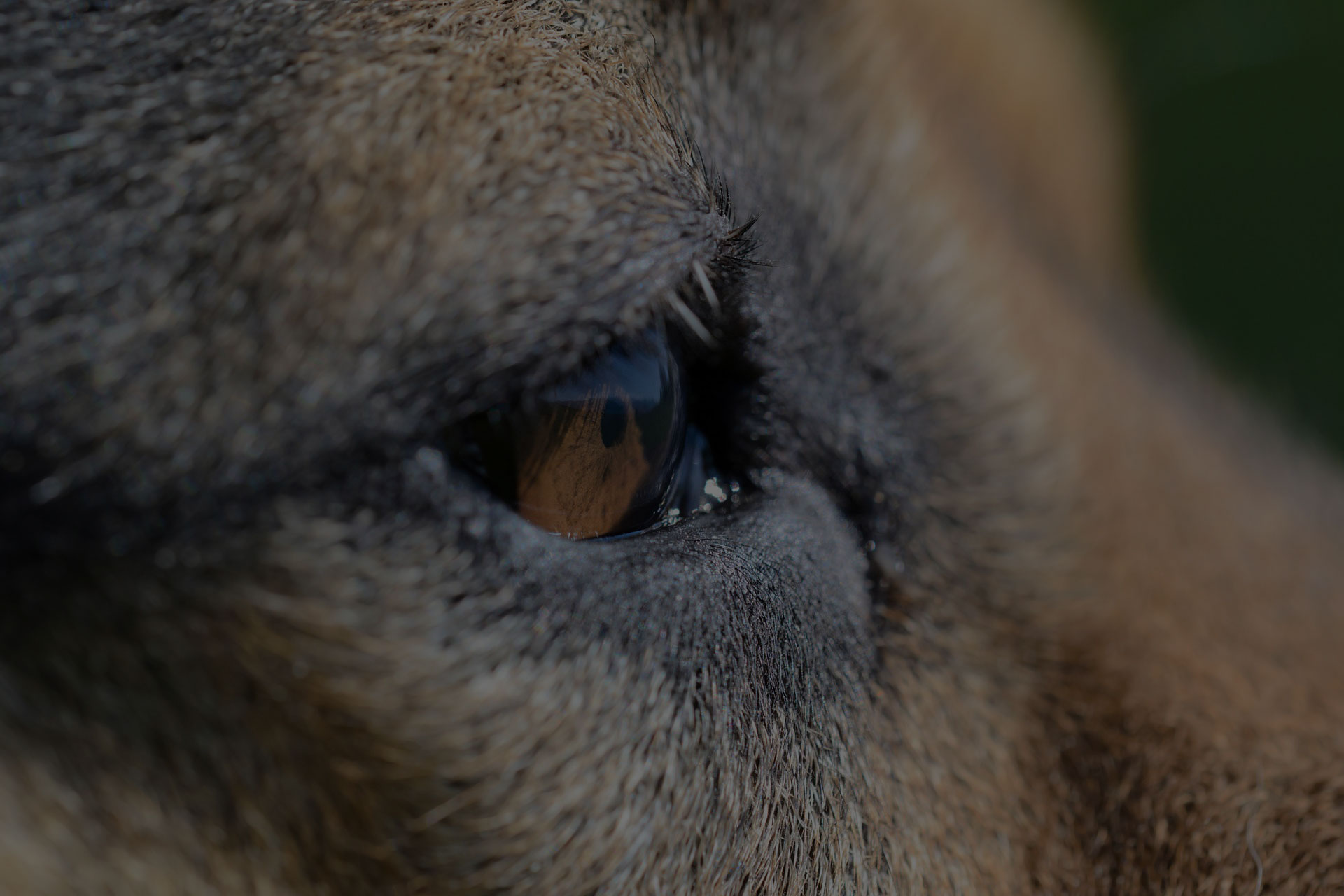Dog Close up eye