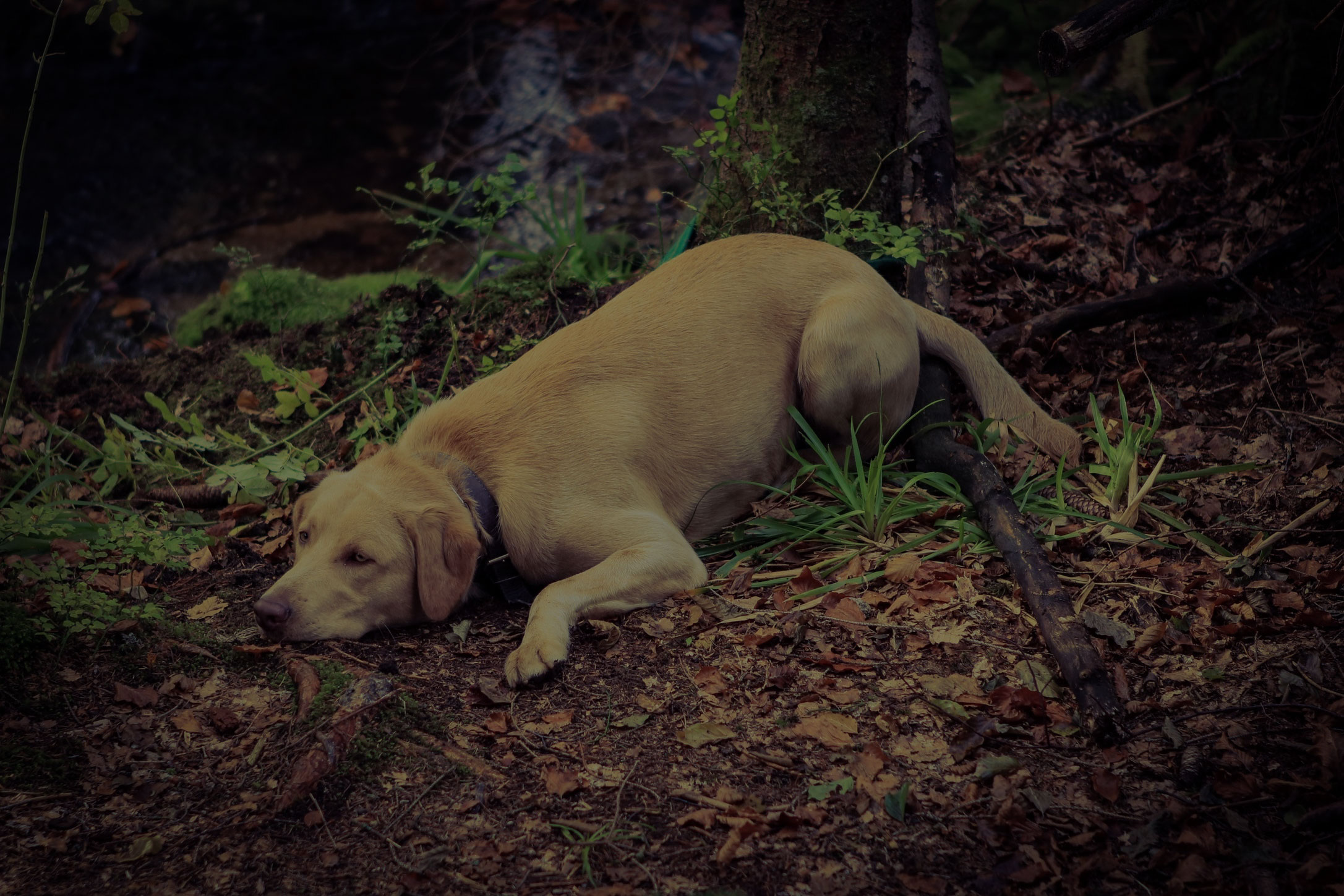 Dog lying in the forest