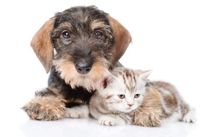 Dog embracing tiny kitten
