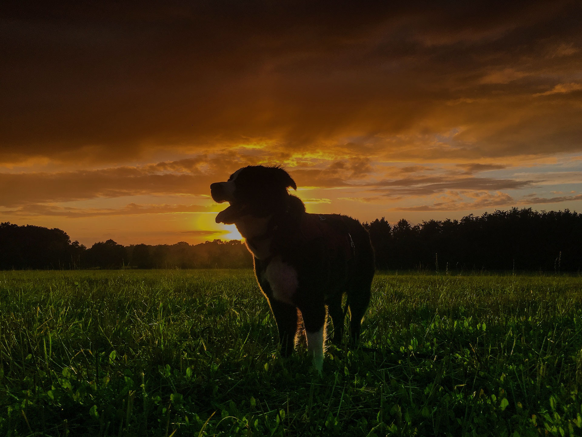 Dog on the fields at the sunset