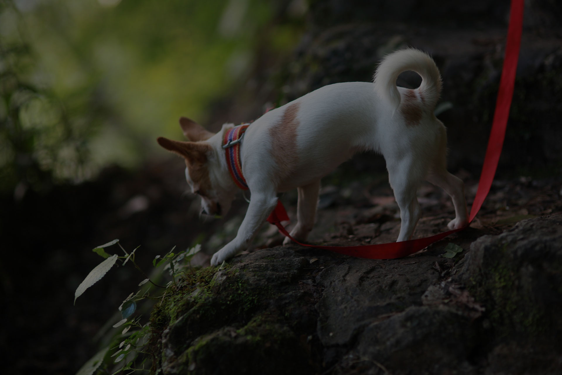 Chihuahua in the woods with strap