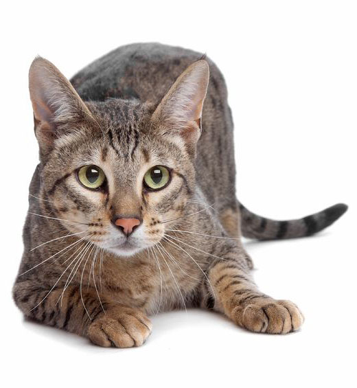 Savannah cat in front of a white background