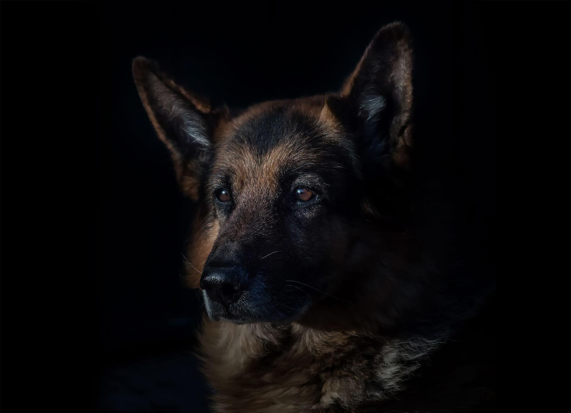 German Shepherd on a black background